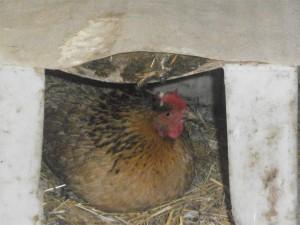 Курица наседка, в процессе высиживания циплят
