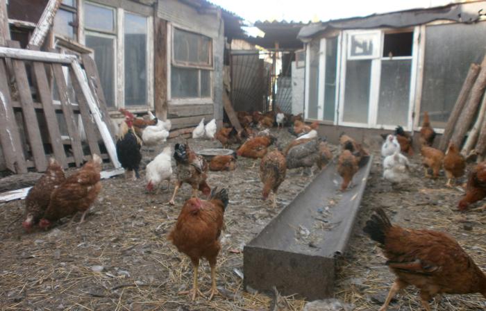 Уход за курицами в домашних условиях содержание 659