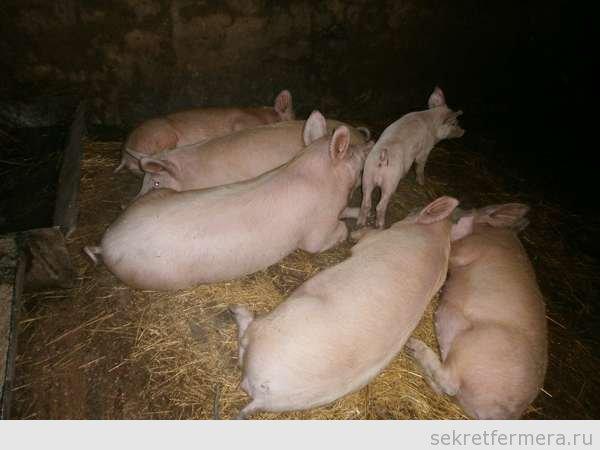 Свиноводство в украине в домашних условиях