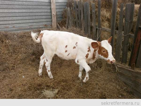 Активный теленок