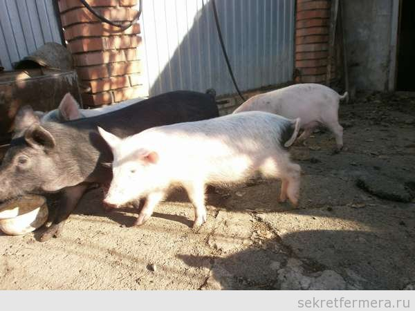 Рахит у свиней происходит от плохого