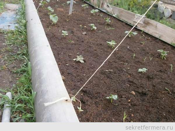 огурцы посажены в подготовленную почву