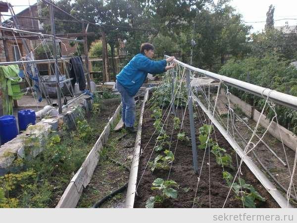 Выращивание огурцов в грунте на шпалере 811