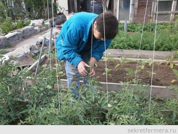заворачиваю томатя
