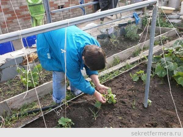 Выращивание огурцов в грунте на шпалере 767
